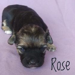 Rose.250